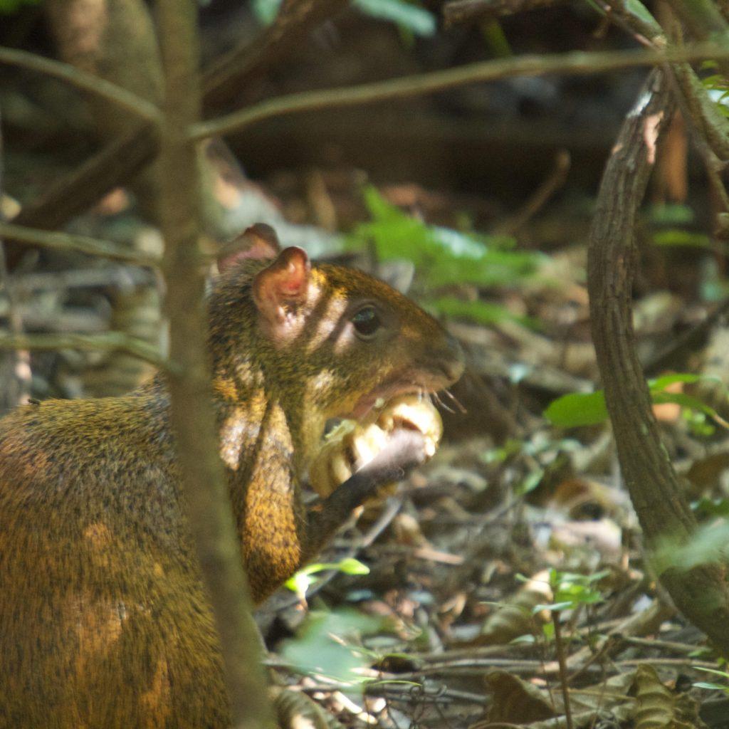 Agoeti Costa Rica