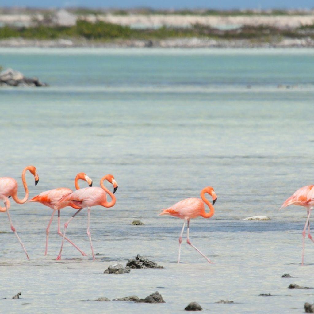 Birds of Bonaire Flamingos