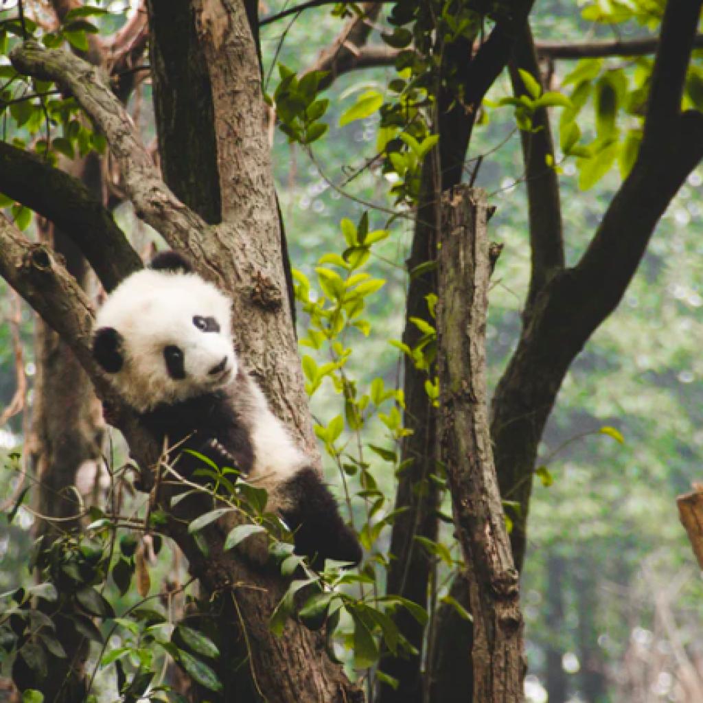 Chengdu Research Base of Giant Panda Breeding, Chengdu Shi, China