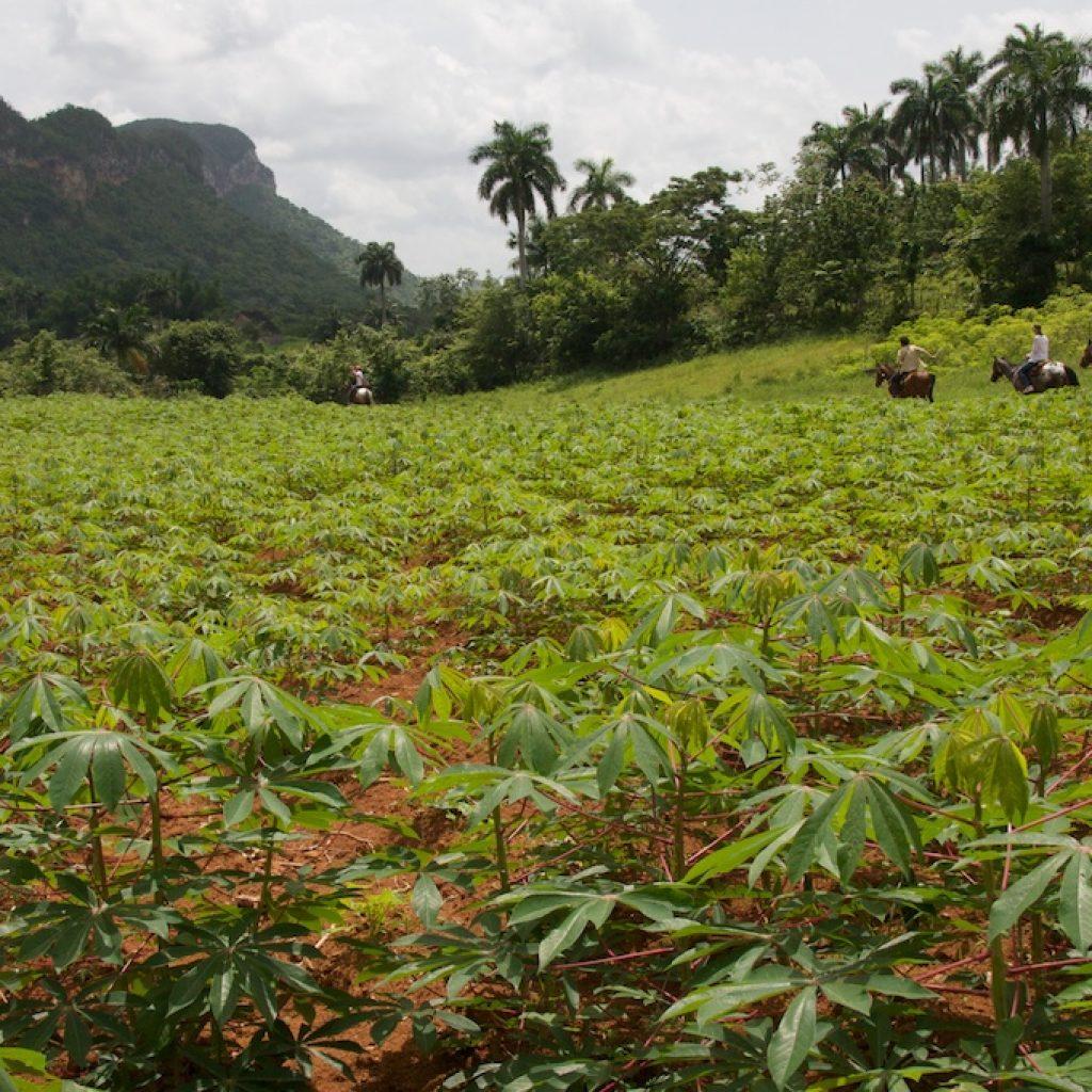 Field crops Vinales Cuba