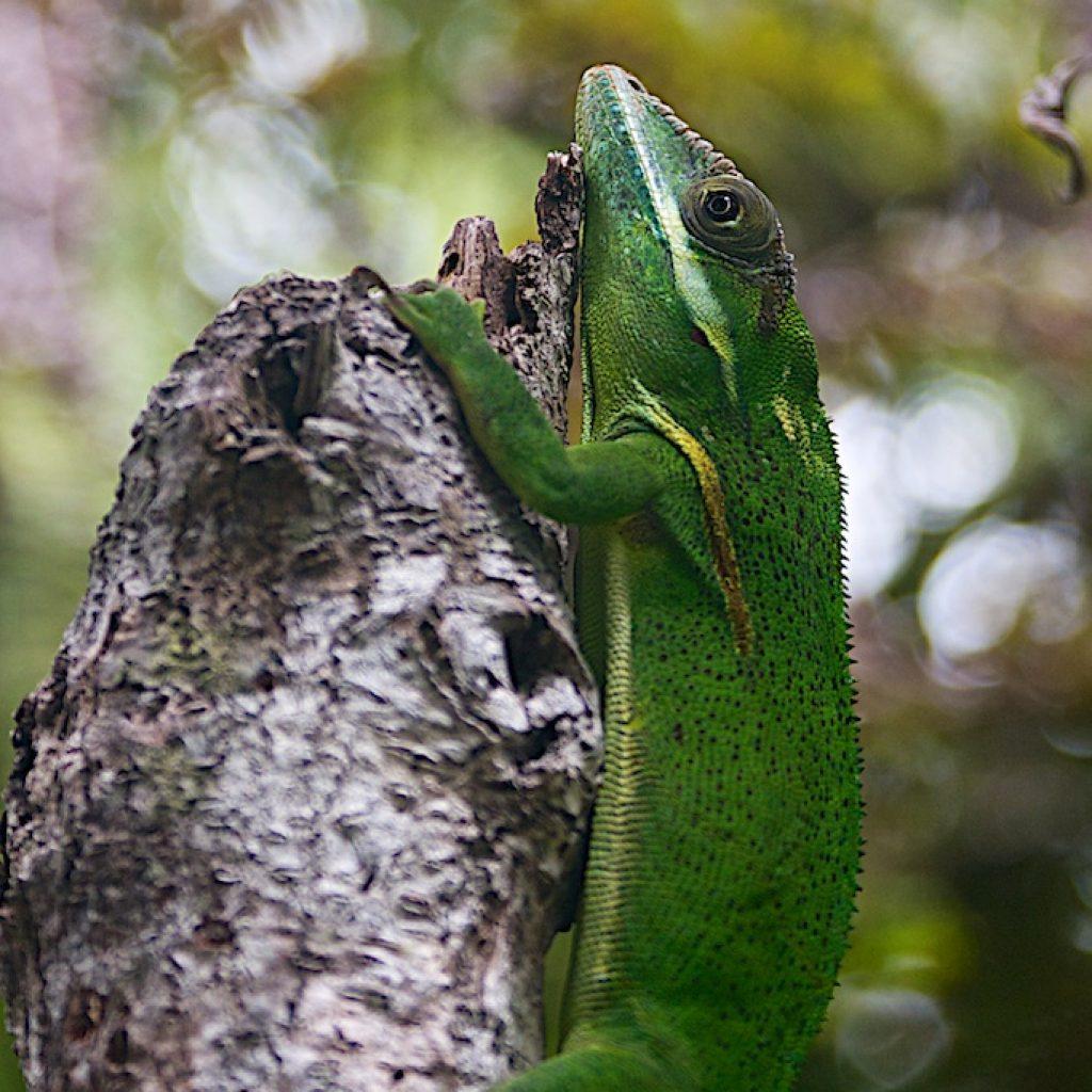 Kameleon op Cuba