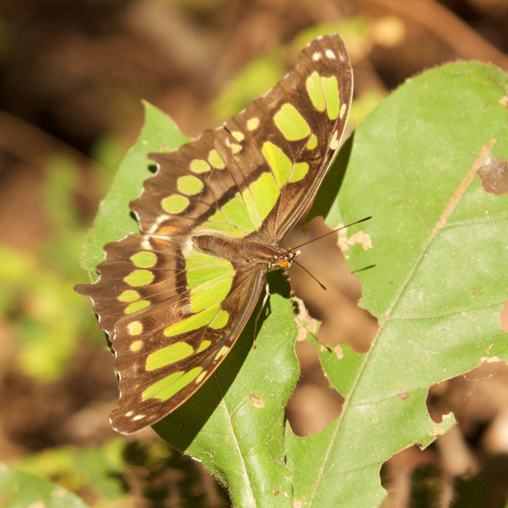 Malachietvlinder Costa Rica