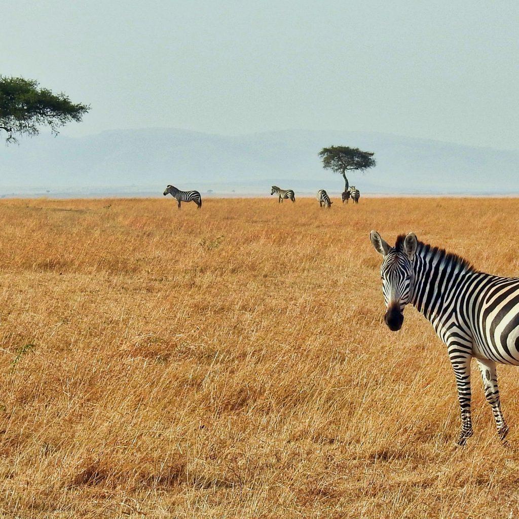 Zebra Zuid Afrika Natuurpark