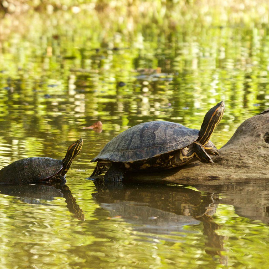 schildpadden Tortuguero Costa Rica